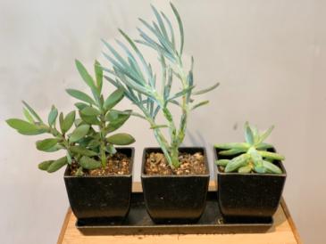 Trio of succulents  Plant