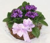 Triple African Violet Blooming Basket