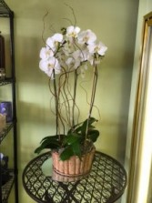 TRIPLE ORCHID PLANT