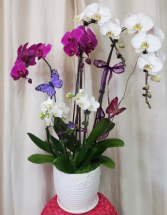 Triple play Orchid Plant