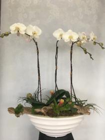 Triple potted Phalaenopsis Arrangement