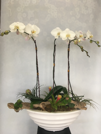 Triple potted Phalaenopsis Arrangement