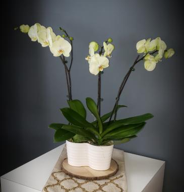 Triple Stem Orchid