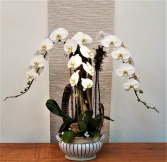 Triple Waterfall Orchid Plant
