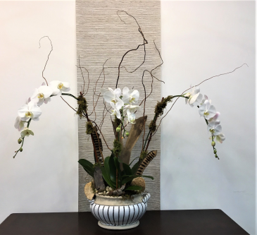 Triple White Waterfall Orchid Plant