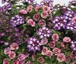 Electric Avenue Trixi Mix Mother's Day Outdoor Hanging Basket