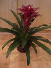 TROPICAL BROMELIAD Long Lasting Indoor Plant