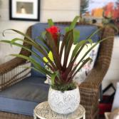 Tropical Bromeliad Houseplant