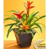 Tropical Bromeliad Indoor Plant