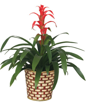 TROPICAL BROMELIAD PLANT Guzmania lingulata major in Whiting, NJ | A Whiting Flower Shoppe