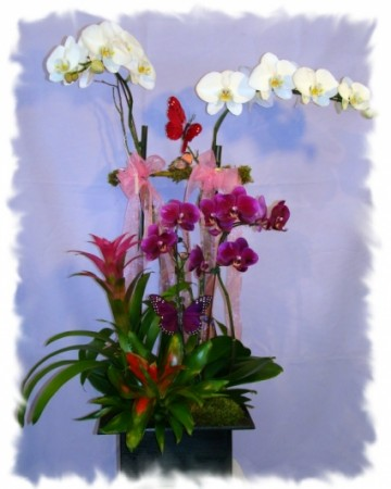 TROPICAL BROMILEAD ORCHIDS PLANT