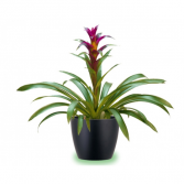 Tropical Bromiliad  Plant