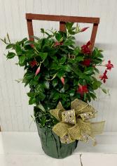 Tropical Dipladenia Plant