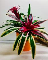 Tropical Paradise Bromelaid Arrangement