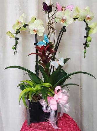 Tropical paradise orchid Plant