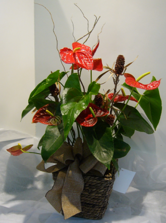TROPICAL TOUCH Blooming Anthurium Plant