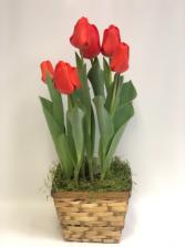 Tulip Bulb Garden Plant