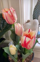 Tulip Bulb Plant