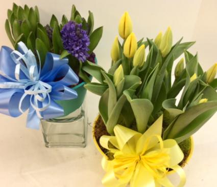 Tulip or Hyacinth Garden