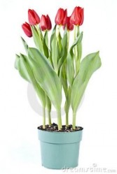 Tulips Blooming Plant