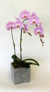 Cascade Beauty Purple orchid plant