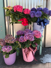 Two sizes of Hydrangeas   Blooming plant