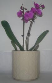 TWO STEM MINIATURE PHALAENOPSIS Blooming Plant