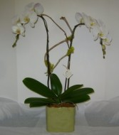 TWO STEM ORCHID PLANT Indoor Plant