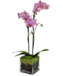 TWO STEM POTTED ORCHID PLANT