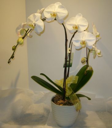 TWO STEM WATERFALL PHALAENOPSIS Indoor Blooming Plant