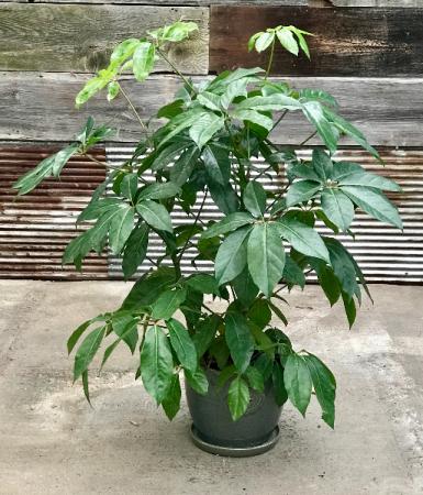 Umbrella Tree  Schefflera
