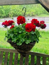 Unique Geranium Hanging Cone Basket