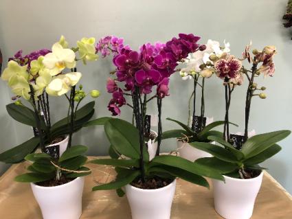 Unique Potted Phalaenopsis Orchids
