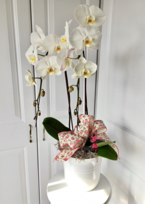 Double Orchid Plant  in Whittier, CA | Rosemantico Flowers