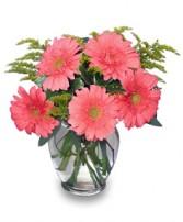 DAISY'S DELIGHT Pink Gerberas