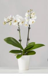 Orchid plant  Valentines