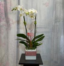 Valentine Orchids