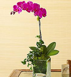 Spring Orchid Plant  in Margate, FL | THE FLOWER SHOP OF MARGATE