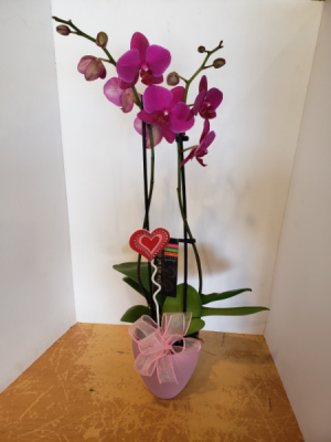 Valentine's Day Orchids assorted colours plant in Stouffville, ON | Centerpiece Flowers