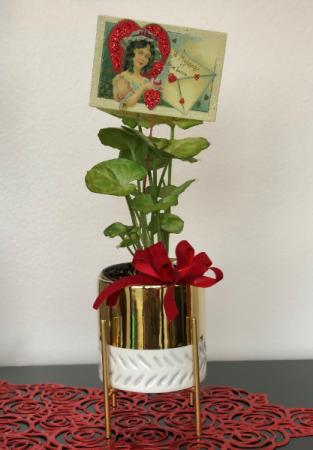 Valentine's Plant Plant