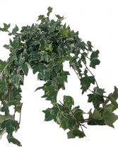 Variegated English Ivy  Green Plants