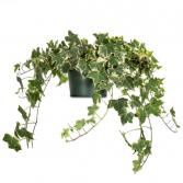 Variegated Hanging English Ivy Plant