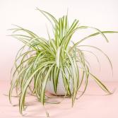 Variegated Hanging Spider Plant