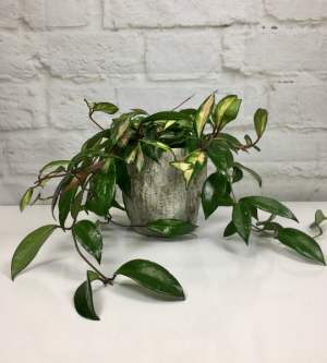 Variegated Hoya in Pottery Hoya H. carnosa in South Milwaukee, WI | PARKWAY FLORAL INC.
