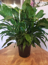 Variegated peace lily  Plant