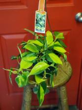 Variegated Pothos Hanging Plant