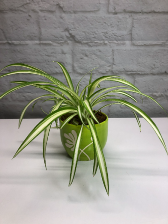 Variegated Spider Plant  in Lime Green Pottery