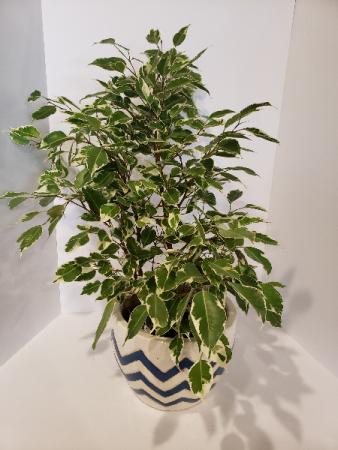 Varigated Ficus Plant