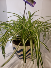Varigated Spider plant Hanging Basket