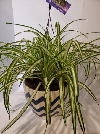 Varigated Spider plant Hanging Basket